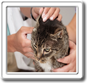 Cat Ear Mites and Ear Infection Medication for Cats